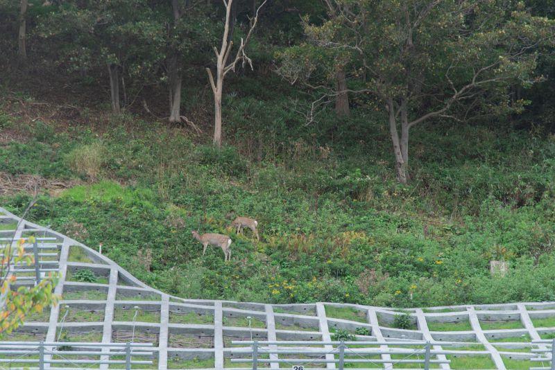 北門神社のすぐ奥の崖にはエゾシカが生息している